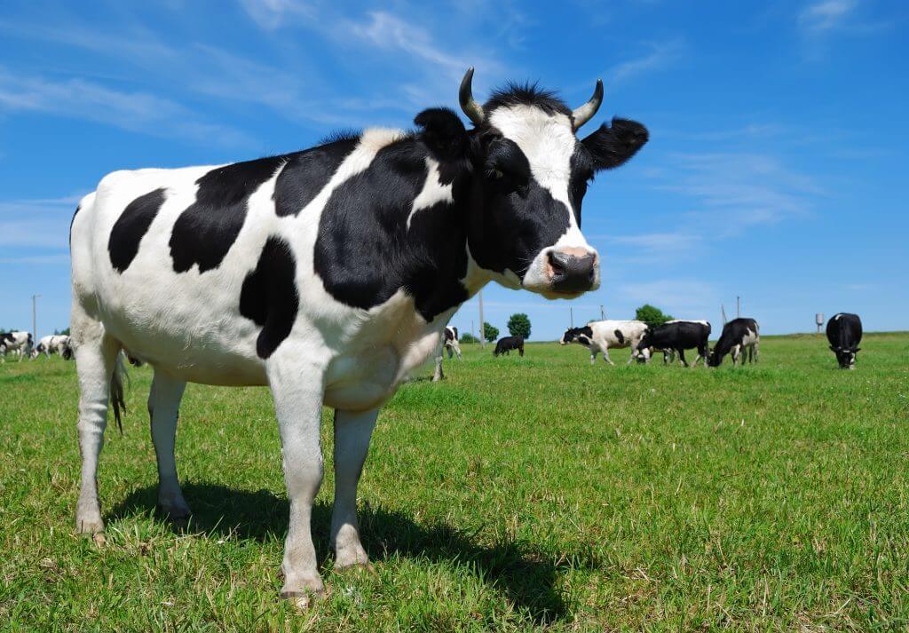 Коровы фото картинки